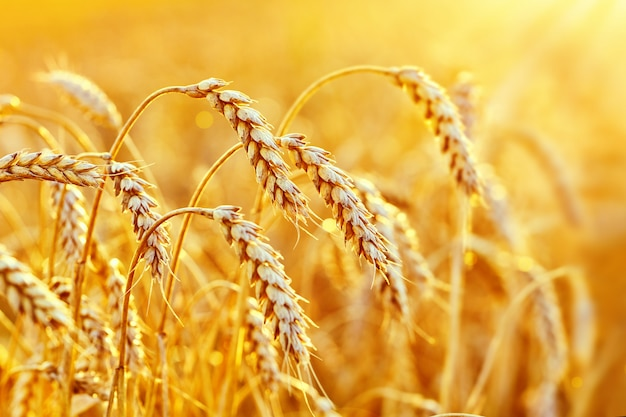 Wheat field. ears of golden wheat. beautiful sunset landscape. ripe cereal crop. close up