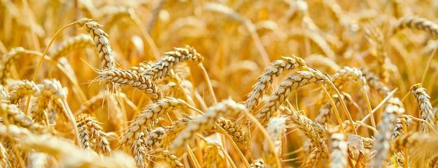 Wheat field. ears of golden wheat. beautiful sunset landscape.