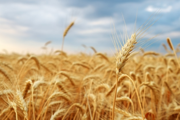 Wheat field. ears of golden wheat close up. beautiful nature sunset landscape. rural scenery. background of ripening ears of meadow wheat field. rich harvest concept