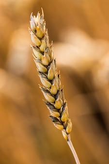 Wheat field. ears of golden wheat close up. of ripening ears of meadow wheat field.