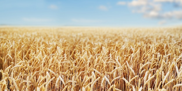 Wheat field ears golden wheat close. wallpaper.