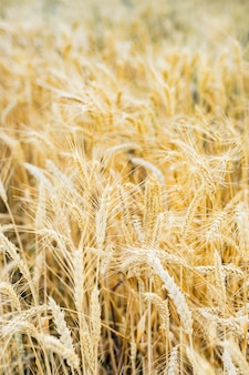 Wheat field ears golden wheat. rich harvest concept.