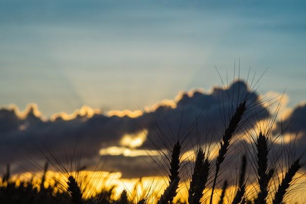 Wheat field ears golden wheat. rich harvest concept.