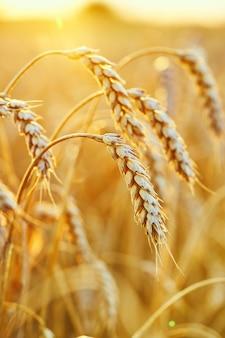 Wheat field. ears of golden wheat