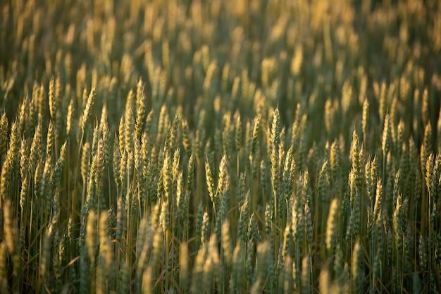 小麦畑。黄金の小麦cの耳