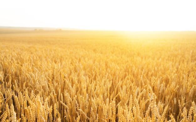 Пшеничное поле. колосья золотой пшеницы заделывают. красивая природа закат пейзаж. сельский пейзаж при ярком солнечном свете. фон созревания колосьев пшеничного поля. концепция богатого урожая.