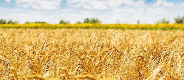 밀밭. 황금 밀의 귀를 닫습니다. 아름다운 자연 일몰 풍경입니다.