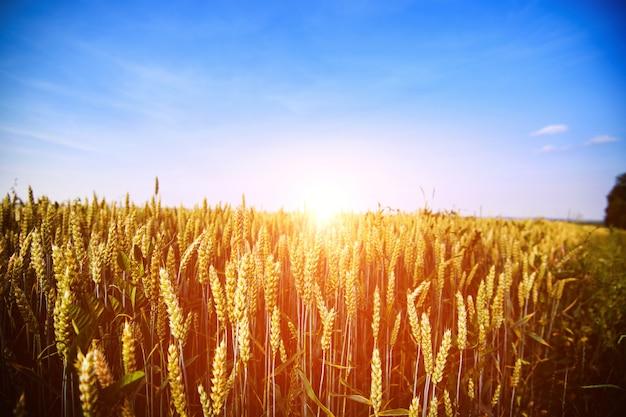 小麦畑。黄金の小麦の穂がクローズアップ。美しい自然の夕日の風景。