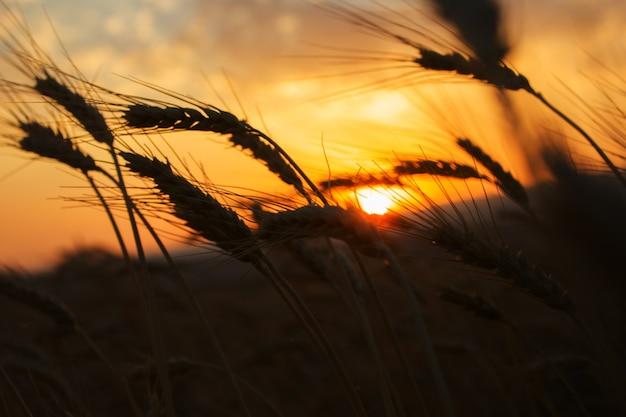 小麦畑。黄金の小麦の穂がクローズアップ。収穫の概念