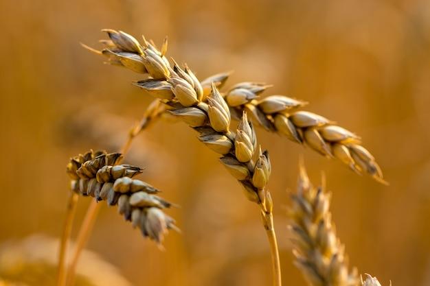 小麦畑。黄金の小麦の穂をクローズアップ。麦畑の穂の登熟。