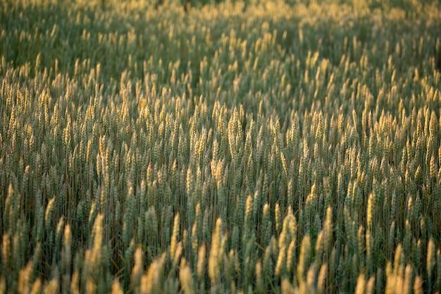 小麦畑。黄金の小麦の穂をクローズアップ。