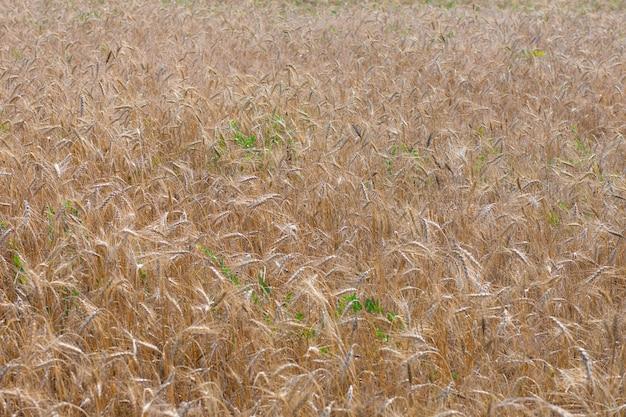 小麦畑。黄金の小麦の穂がクローズアップ。