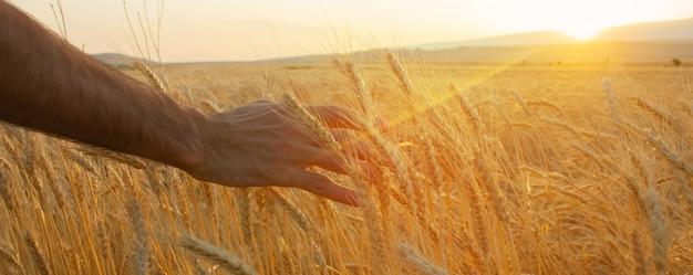 小麦畑黄金の小麦の穂がクローズアップ