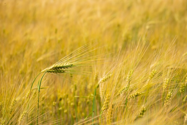 Пшеничное поле. колосья золотой пшеницы.