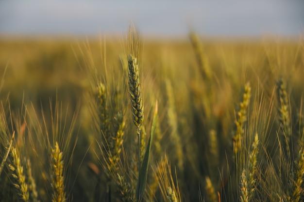 小麦畑。緑の小麦の穂がクローズアップ。美しい自然の風景。輝く日光の下での田園風景。麦畑の穂の成熟の背景。豊富な収穫の概念。設計