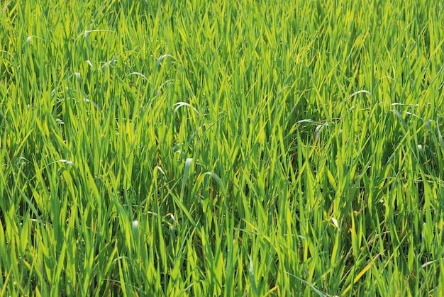Пшеничное поле сельхозугодий