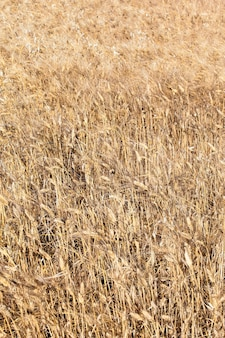Wheat field in the french countryside in summer