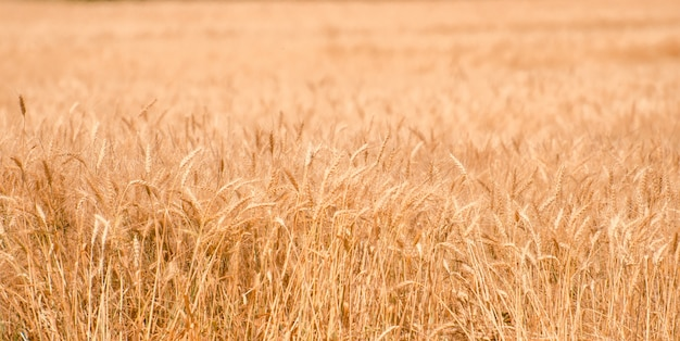 Wheat field. gold wheat close-up. rural scenery under the shining sunlight. the concept of a rich harvest.
