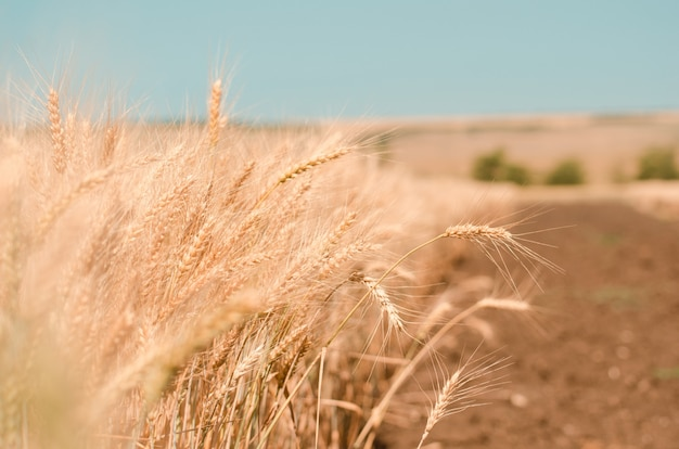 Wheat field. gold wheat close-up. rural scenery under the shining sunlight.
