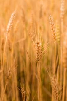 小麦畑 。小麦のクローズアップの黄金の小穂。収穫の概念。