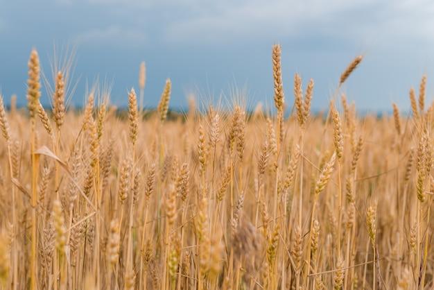 Пшеничное поле. золотые колоски пшеницы.