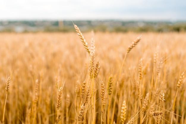 小麦畑 。黄金の小麦のクローズアップ。収穫の概念。