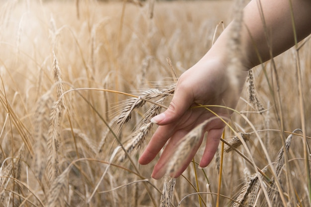 Wheat field. hands holding ears of golden wheat close up