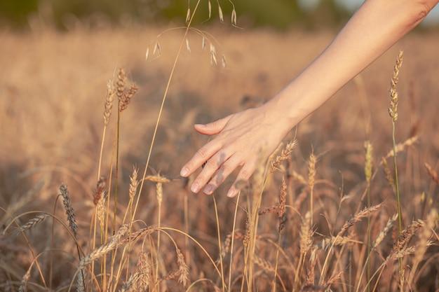 밀밭. 황금 밀의 귀를 잡고 손을 닫습니다. 아름 다운 자연 일몰 풍경입니다. 빛나는 햇빛 아래 시골 풍경입니다. 밀 필드의 귀 숙성의 배경입니다. 풍부한 수확 개념