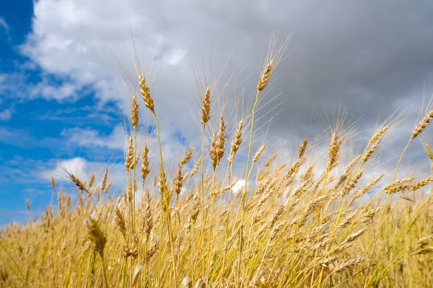 Wheat field in harvest season with blue sky background
