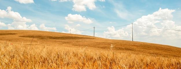 Поле пшеницы в пасмурный солнечный день