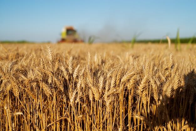 Пшеничное поле в фокусе с комбайном уборки позади.