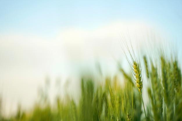 인도의 밀밭