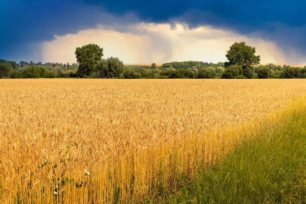 暗い嵐の空の夏の麦畑