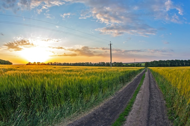 햇빛에 밀밭입니다. 자연과 풍경