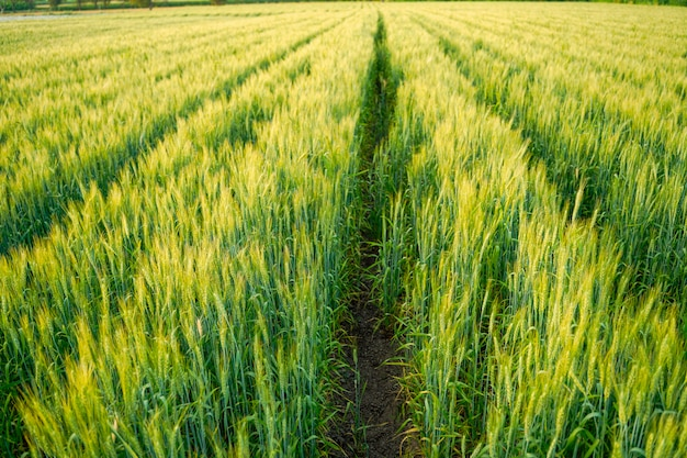 Wheat field in india