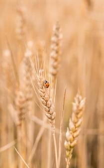 小麦畑 。小麦のクローズアップの黄金の小穂のてんとう虫。収穫の概念。