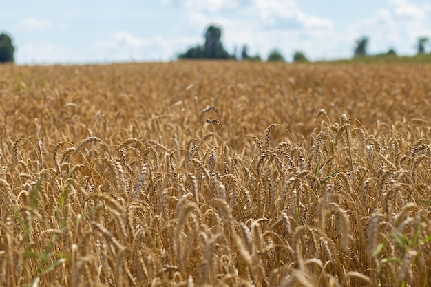 Wheat field on sunny day