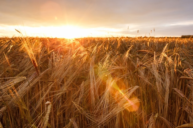 Wheat field at sunset, ripe wheat, wheat crop on the field. high quality photo
