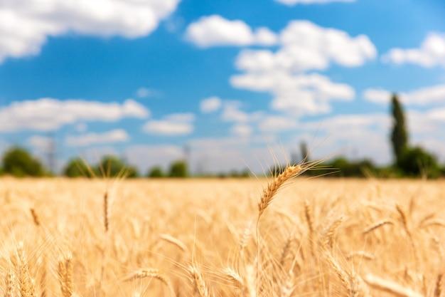 澄んだ青い空の下の麦畑
