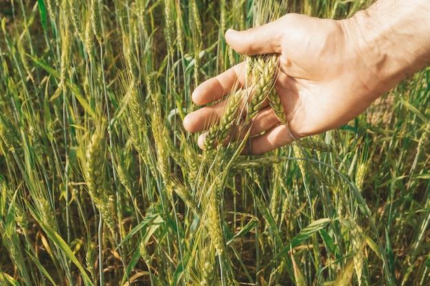 Пшеничное поле с фермером, держащим в руке колосья ржи. урожай пшеницы на солнечном поле летом. сельское хозяйство, сельское хозяйство и выращивание био-эко-продуктов питания. фото высокого качества