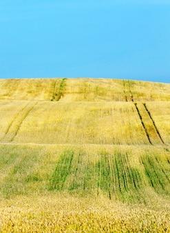 성숙한 노란색 자르기와 밀밭입니다. 푸른 하늘 풍경. 밭 표면에는 식물의 관개 및 해충으로부터의 처리를위한 스트립이 있습니다.