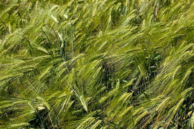 未熟な小麦のある小麦畑、穀物の小麦のある農地