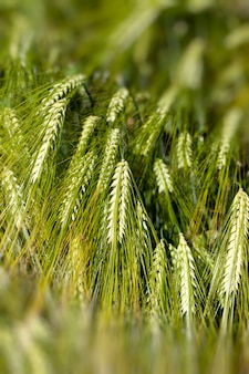 Пшеничное поле с незрелым урожаем пшеницы