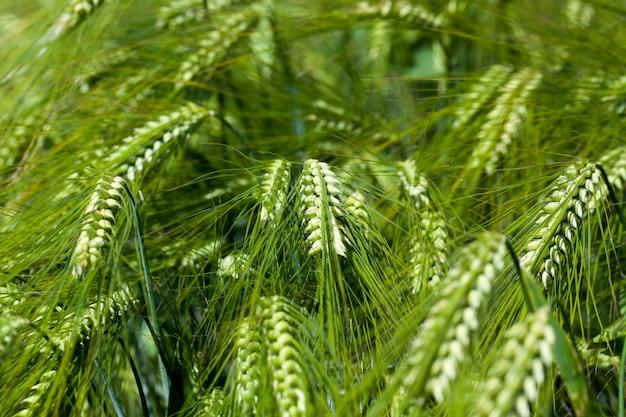 未熟な麦畑のある麦畑