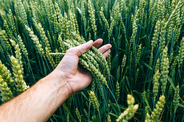 Wheat field with farmer's hand