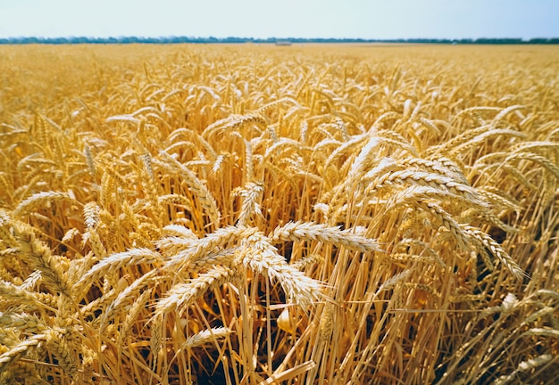 Wheat field with golden ears against the blue sky .