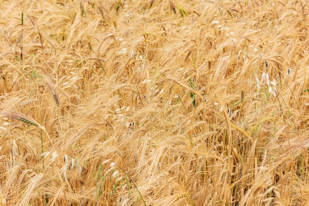 황금 귀가 있는 밀밭