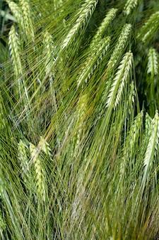 Поле пшеницы с зелеными незрелыми растениями пшеницы