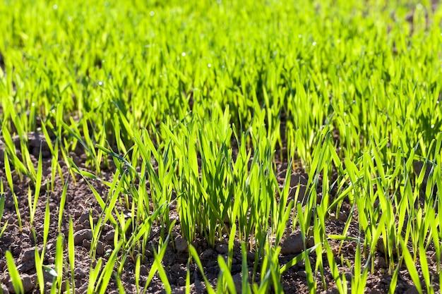 초여름 또는 늦봄에 밀의 녹색 콩나물이있는 밀밭, 농업