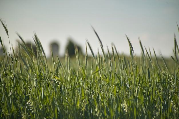 Wheat field with many ears in ripening, still green wheat in an italian cultivation.